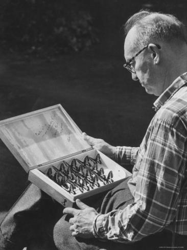 Фото Набокова Владимира рассматривает свою коллекцию бабочек